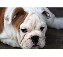 Barney the Bulldog Photographic Print