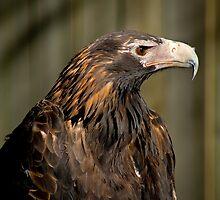 Wedge-tailed Eagle by Yorrik