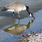 Canada Goose by Teresa Zieba