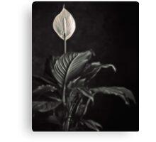 white skunk cabbage Canvas Print