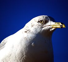 Serious Ring Bill Gull by madman4