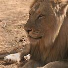 Resting Lion by Steve Bulford