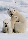 Polar Bear and Cubs    by Steve Bulford