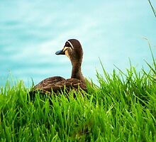 Duck in the Grass - Stephenson Park, Mount Barker, South Australia by Mark Richards