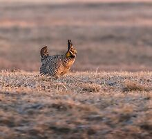 Prairie Chicken 2013-10 by Thomas Young