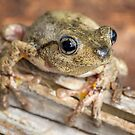 Bleating tree frog 1 by ThisMoment