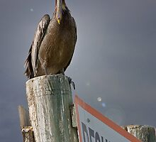 Pelican's Penthouse by Jan Cartwright