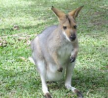 Cute Wallaby by ARALUEN
