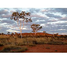 Sunset Ghost Gums,Batton Hill, North Simpson Desert Photographic Print