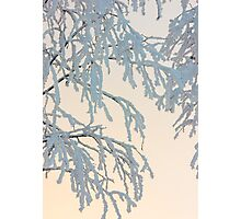 Birch branches in snow Photographic Print