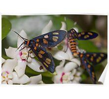 Hoya australis with native Tiger Moths Poster