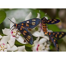 Hoya australis with native Tiger Moths Photographic Print
