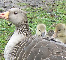 Graylag Geese - Benji And Benni With Their Mother by AARDVARK