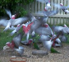 Galahs In Flight by Laura Moore