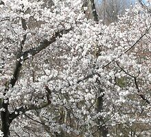 Sakura Blooms in Suigen Park  by mindscribbler