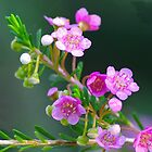 Thryptomene. by Bette Devine
