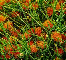 Sand Bottlebrush. by Bette Devine