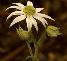 Flannel Flower by Rosalie Dale