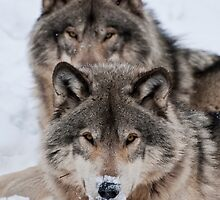 Timber Wolves - Gray Spirit Of The Forest 9 by WolvesOnly