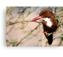 White Breasted Kingfisher II Canvas Print