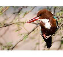 White Breasted Kingfisher II Photographic Print