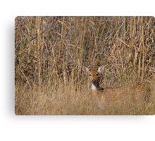 Spotted Deer Canvas Print