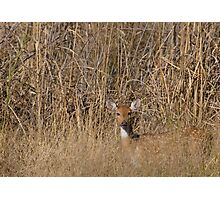 Spotted Deer Photographic Print