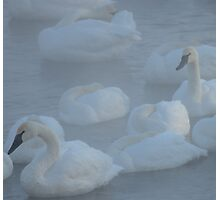 Swans In Morning Fog Photographic Print