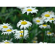 White Oxeye Daisy Wildflower Photographic Print