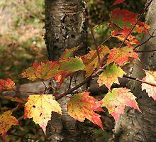 Birch in Autumn by Kristi Lockwood