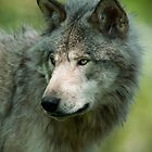 Timber Wolves - Gray Spirit Of The Forest 10 by WolvesOnly
