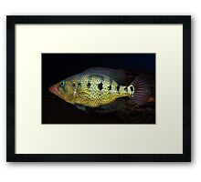 Petenia Splendida - Red Bay Snook Framed Print