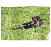 Just Born Reindeer Calf Poster