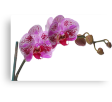 Purple Phaleanopsis Orchid on white background Canvas Print