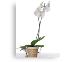 White Phaleanopsis Orchid on white background with kitten  Canvas Print