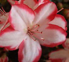 Azalea Beauty by pat oubridge