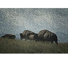 Family of Bison On the Range Photographic Print