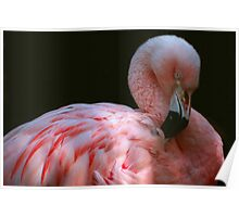 Preening Flamingo Poster