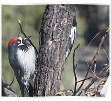 Red Capped Woodpecker  Poster