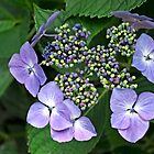 Hydrangea macrophylla 'Blue Wave' by Rod Johnson