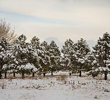 Snowy Winter Pine Trees by Bo Insogna