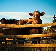 Cattle by welchbelch