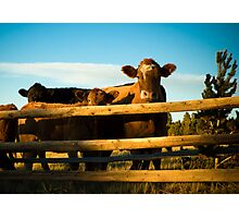 Cattle Photographic Print