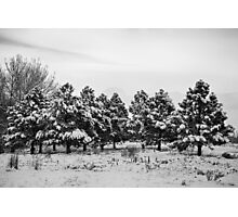 Snowy Winter Pine Trees In Black and White Photographic Print