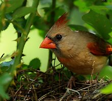 Mother Cardinal on Nest Duty by Bonnie T.  Barry