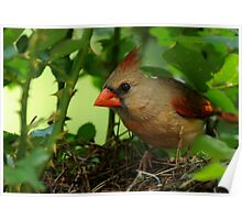 Mother Cardinal on Nest Duty Poster
