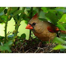 Mother Cardinal on Nest Duty Photographic Print