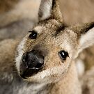 The Inquisitive Kangaroo by Matt  Streatfeild