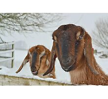 Goats in the snow  Photographic Print