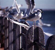 Battery Gulls, Charleston, SC by Benjamin Padgett